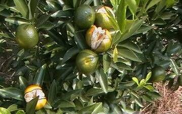 柑橘生理性裂果 如何防治